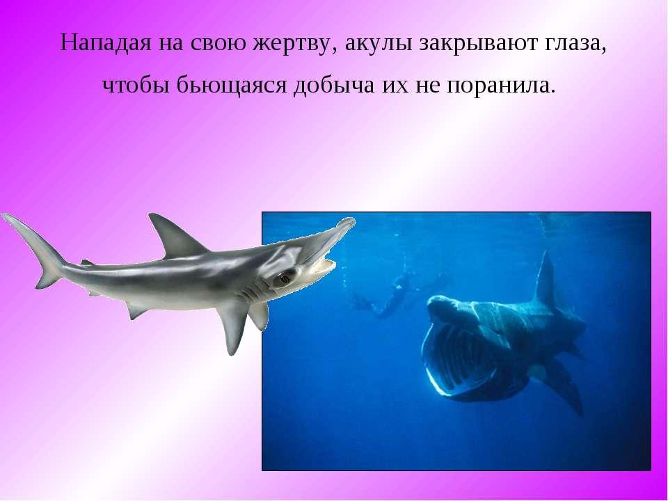 Нападая на свою жертву, акулы закрывают глаза, чтобы бьющаяся добыча их не по...