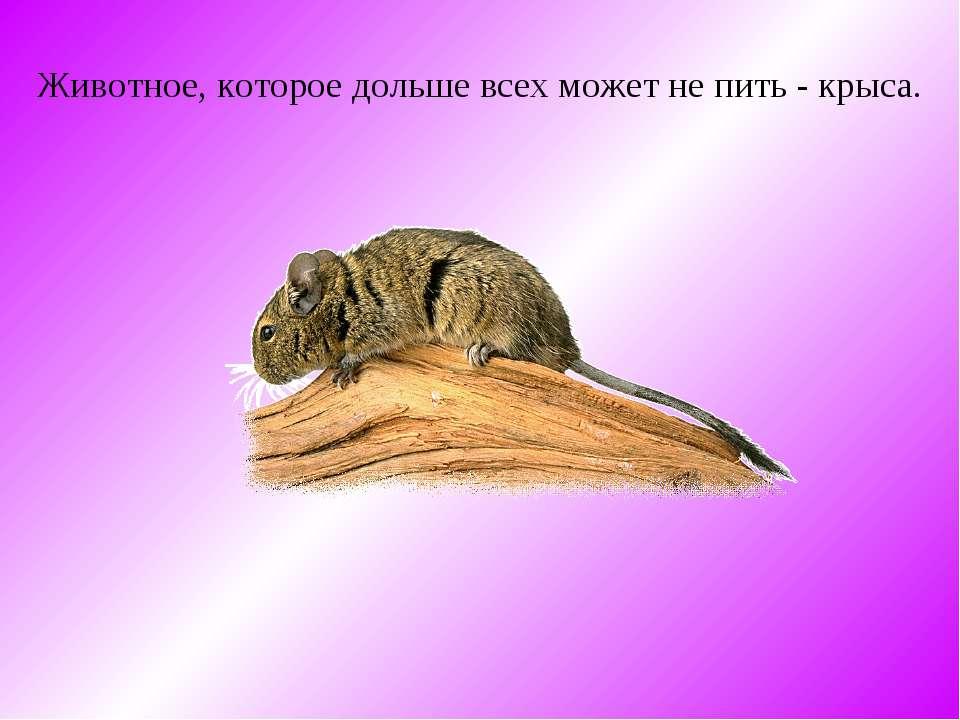 Животное, которое дольше всех может не пить - крыса.