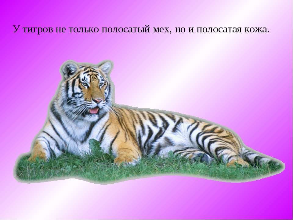 У тигров не только полосатый мех, но и полосатая кожа.