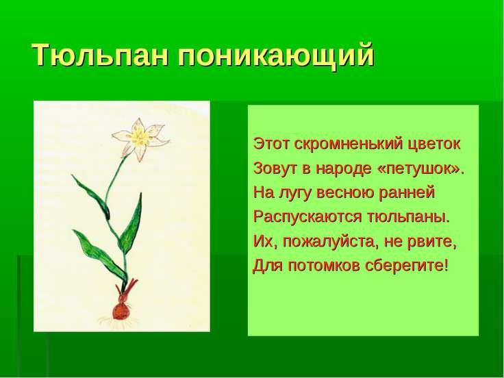 Тюльпан поникающий Этот скромненький цветок Зовут в народе «петушок». На лугу...
