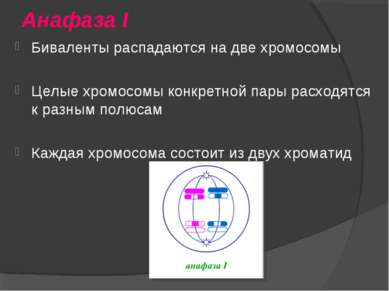 Анафаза I Биваленты распадаются на две хромосомы Целые хромосомы конкретной п...