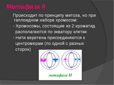 Метафаза II Происходит по принципу митоза, но при гаплоидном наборе хромосом:...