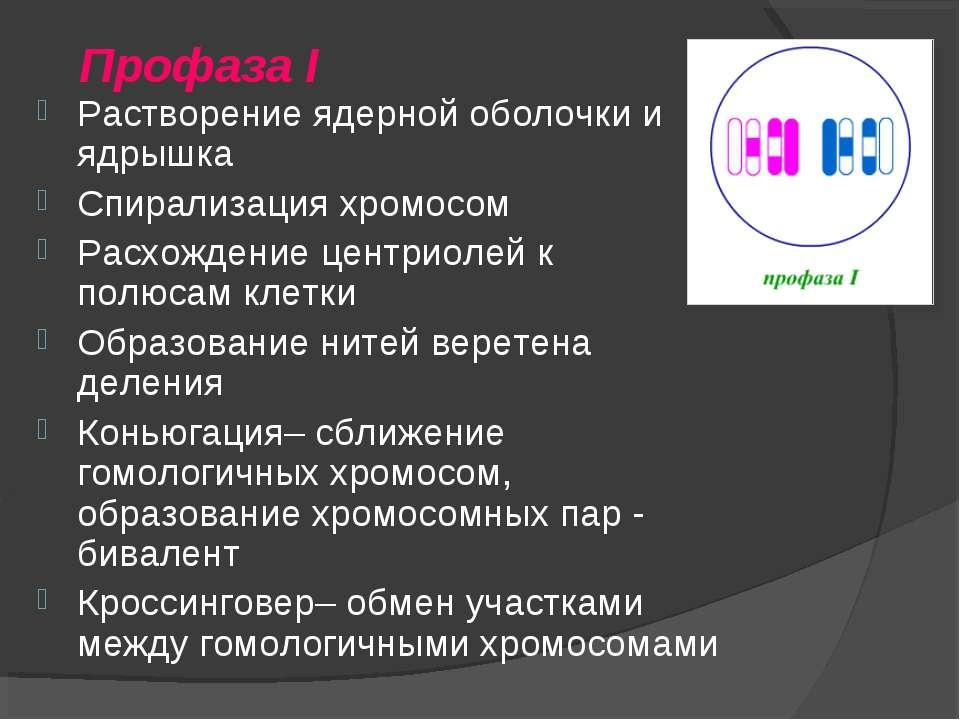 Профаза I Растворение ядерной оболочки и ядрышка Спирализация хромосом Расхож...