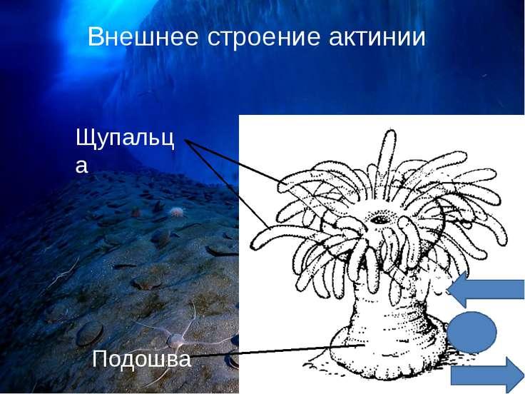 Возможные варианты внешнего вида актиний