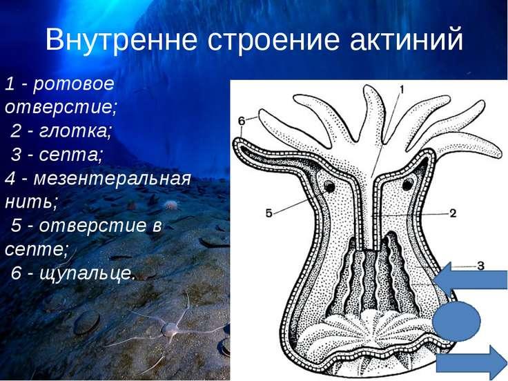 Внутренне строение актиний 1 - ротовое отверстие; 2 - глотка; 3 - септа; 4 - ...