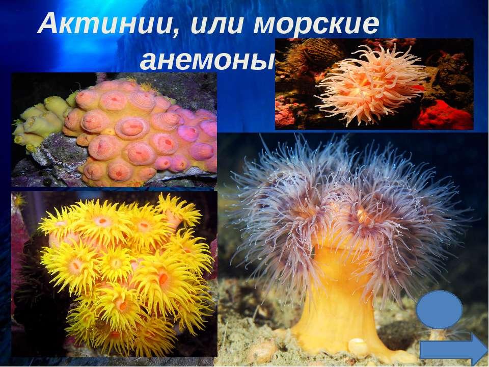 Самая большая и самая маленькая актиния в мире. Актиния метридиум колбасный (...