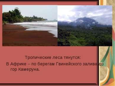 Тропические леса тянутся: В Африке – по берегам Гвинейского залива до гор Кам...