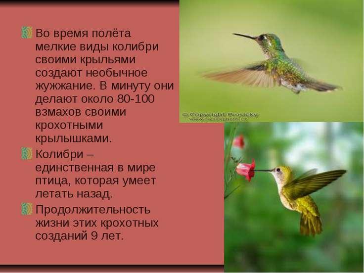 Во время полёта мелкие виды колибри своими крыльями создают необычное жужжани...