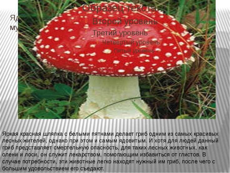 Ядовитые грибы мухомор Яркая красная шляпка с белыми пятнами делает гриб одни...