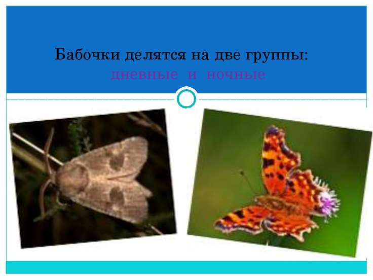 Бабочки делятся на две группы: дневные и ночные