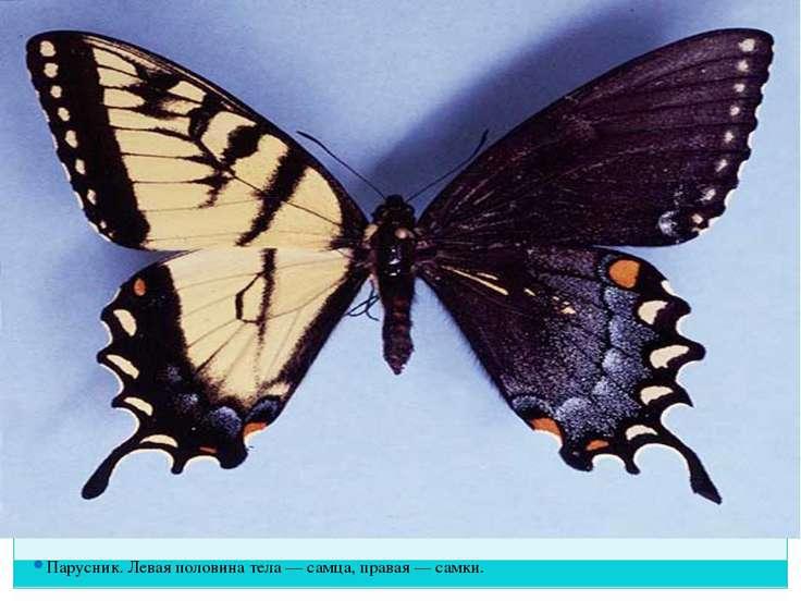Парусник. Левая половина тела — самца, правая — самки.