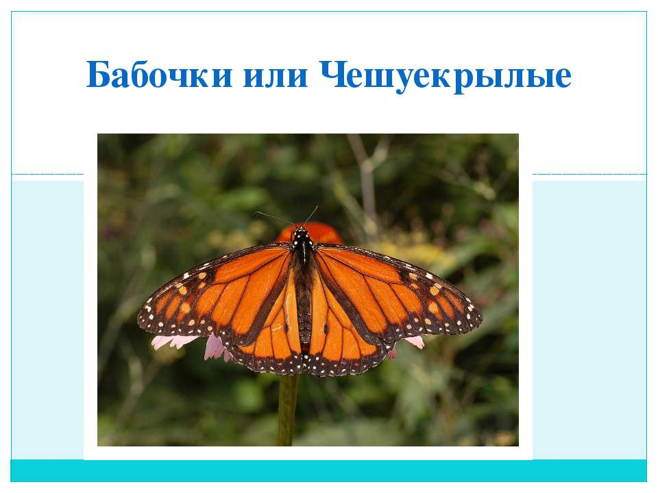 Бабочки или Чешуекрылые