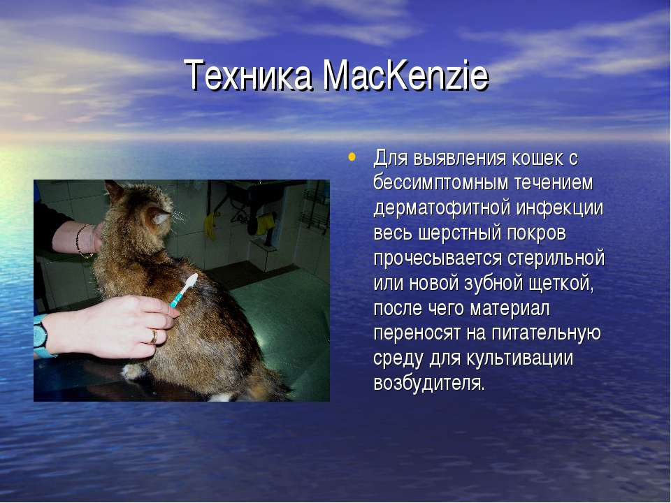 Техника MacKenzie Для выявления кошек с бессимптомным течением дерматофитной ...