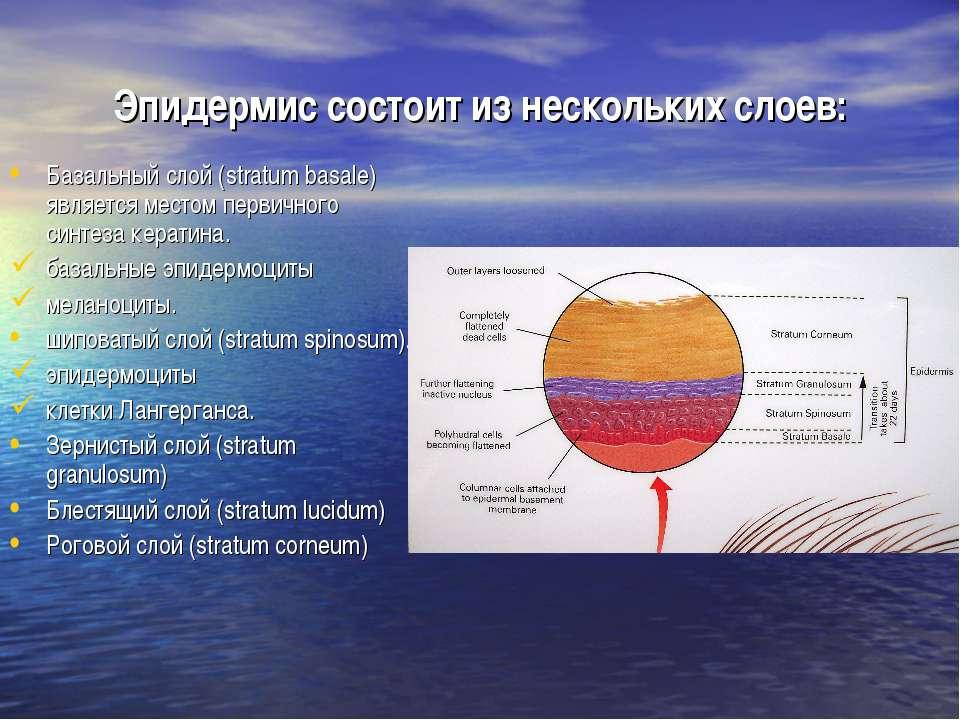Эпидермис состоит из нескольких слоев: Базальный слой (stratum basale) являет...
