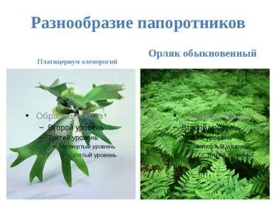 Разнообразие папоротников Платицериум оленерогий Орляк обыкновенный