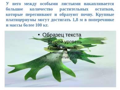 У него между особыми листьями накапливается большое количество растительных о...
