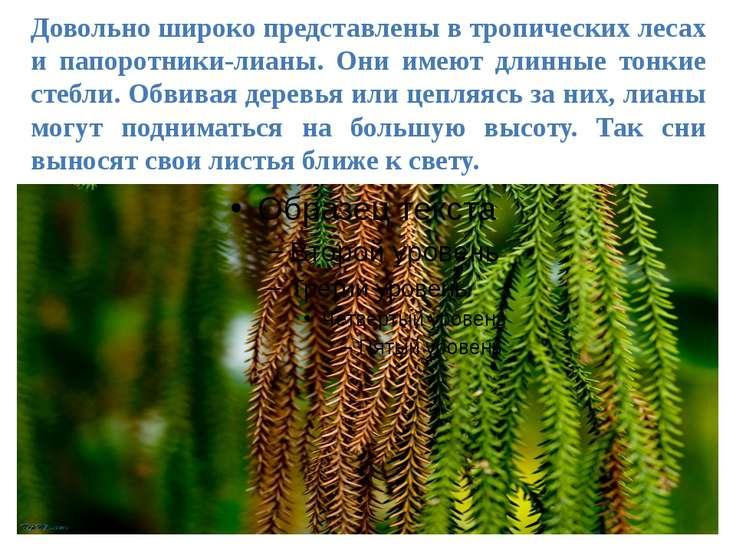 Довольно широко представлены в тропических лесах и папоротники-лианы. Они име...