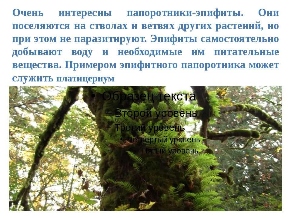 Очень интересны папоротники-эпифиты. Они поселяются на стволах и ветвях други...
