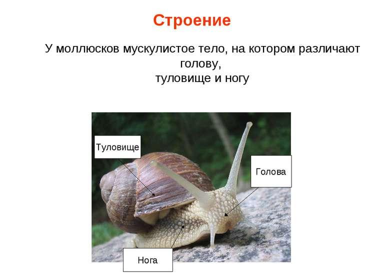 У моллюсков мускулистое тело, на котором различают голову, туловище и ногу Ту...