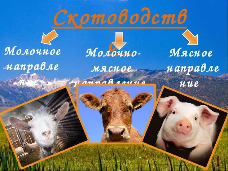 Скотоводство Молочное направление Молочно-мясное направление Мясное направление