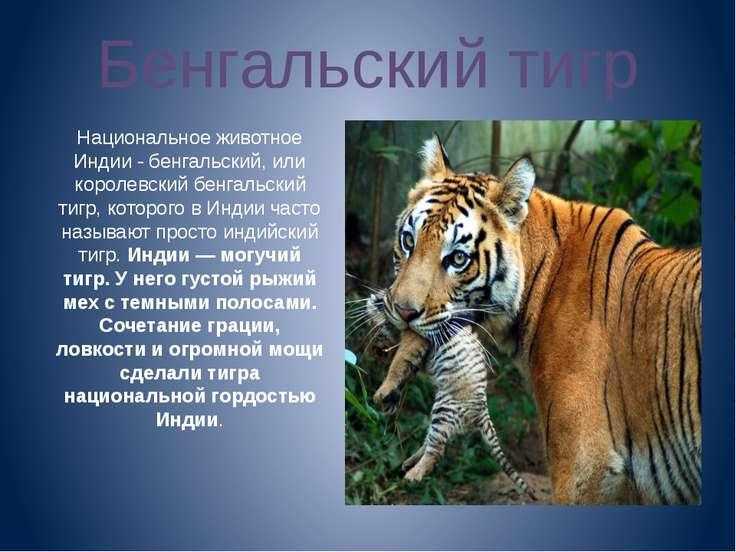 Бенгальский тигр Национальное животное Индии - бенгальский, или королевский б...
