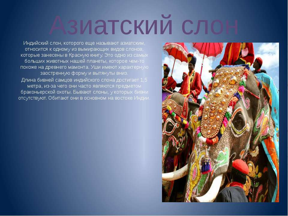 Азиатский слон Индийский слон, которого еще называют азиатским, относится к о...