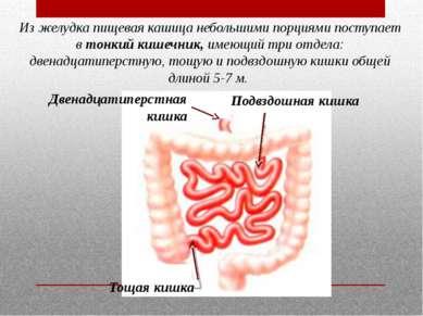 Из желудка пищевая кашица небольшими порциями поступает втонкий кишечник,им...
