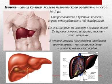 Печень- самая крупная железа человеческого организма массой до 2 кг. Она рас...