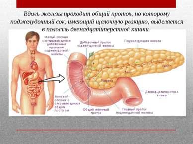 Вдоль железы проходит общий проток, по которому поджелудочный сок, имеющий ще...