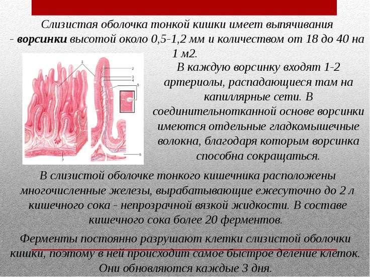 Слизистая оболочка тонкой кишки имеет выпячивания -ворсинкивысотой около 0,...
