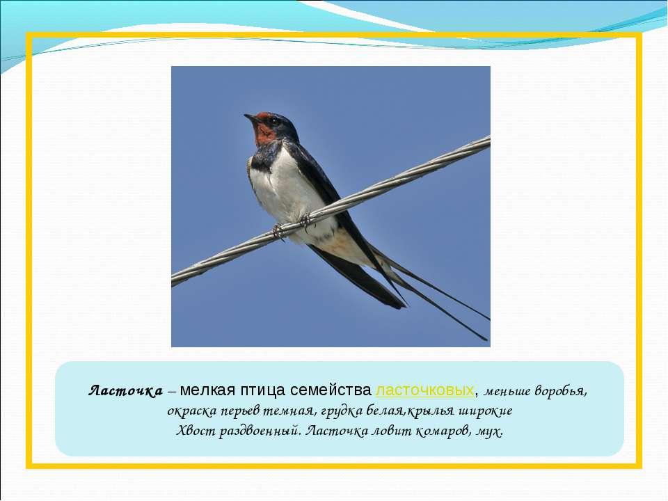Ласточка – мелкая птица семействаласточковых, меньше воробья, окраска перьев...