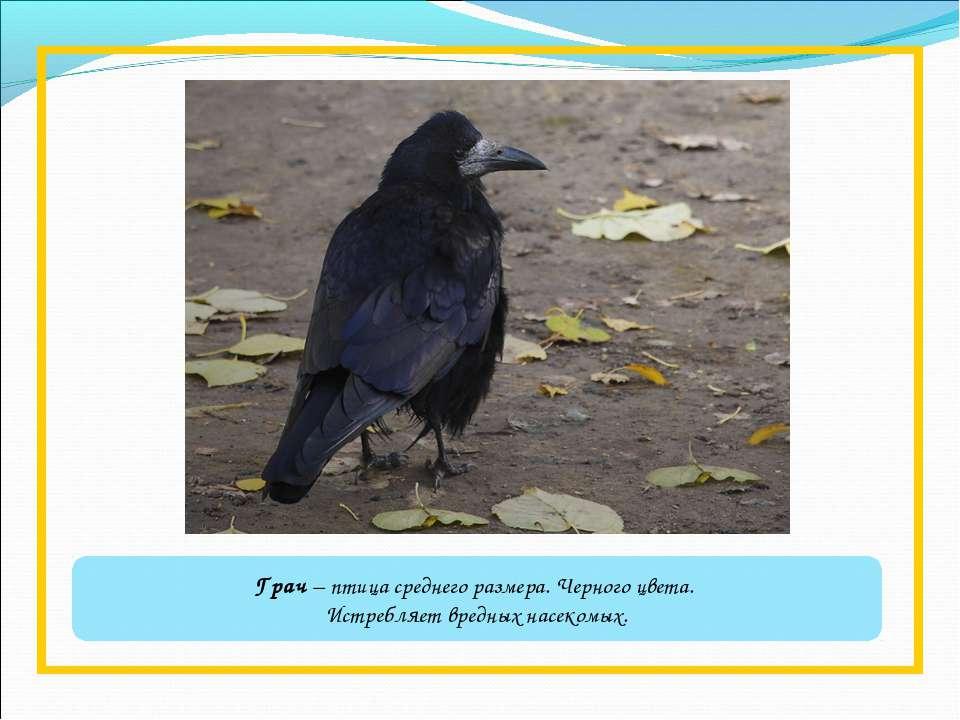 Грач – птица среднего размера. Черного цвета. Истребляет вредных насекомых.