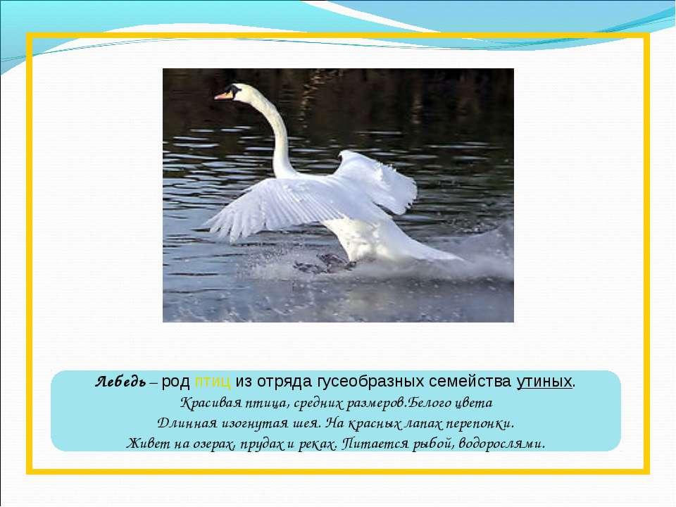 Лебедь – родптициз отрядагусеобразныхсемействаутиных. Красивая птица, ср...