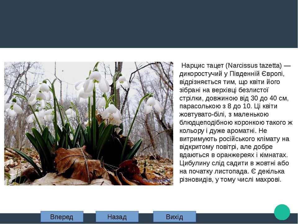 Нарцис тацет (Narcissus tazetta) — дикоростучий у Південній Європі, відрізняє...