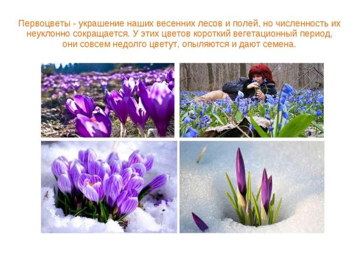 Первоцветы - украшение наших весенних лесов и полей, но численность их неукло...