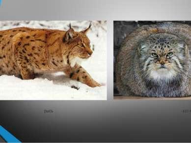 рысь кот-манул