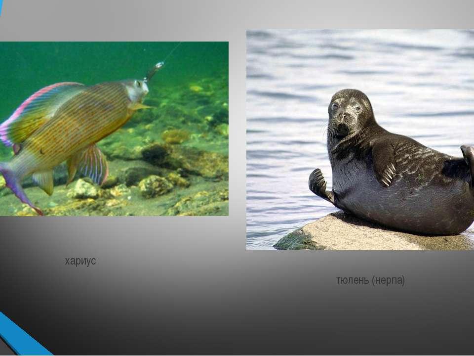хариус тюлень (нерпа)