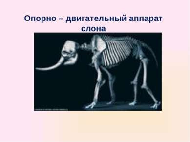 Опорно – двигательный аппарат слона