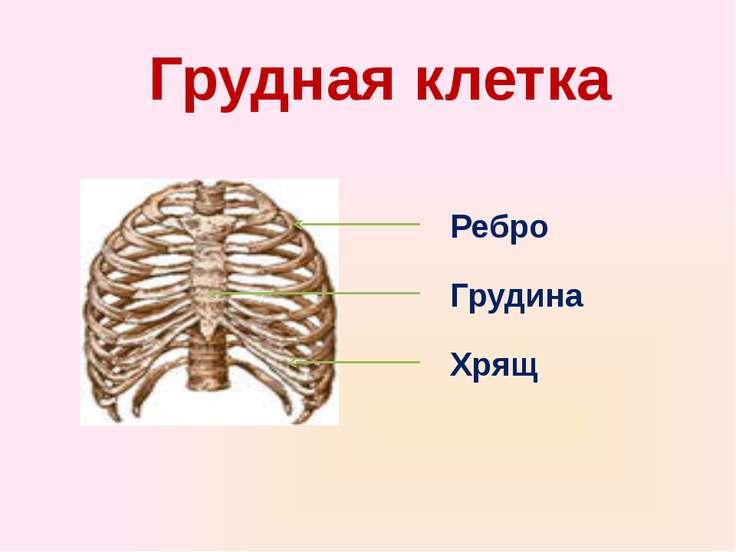 Грудная клетка Ребро Грудина Хрящ