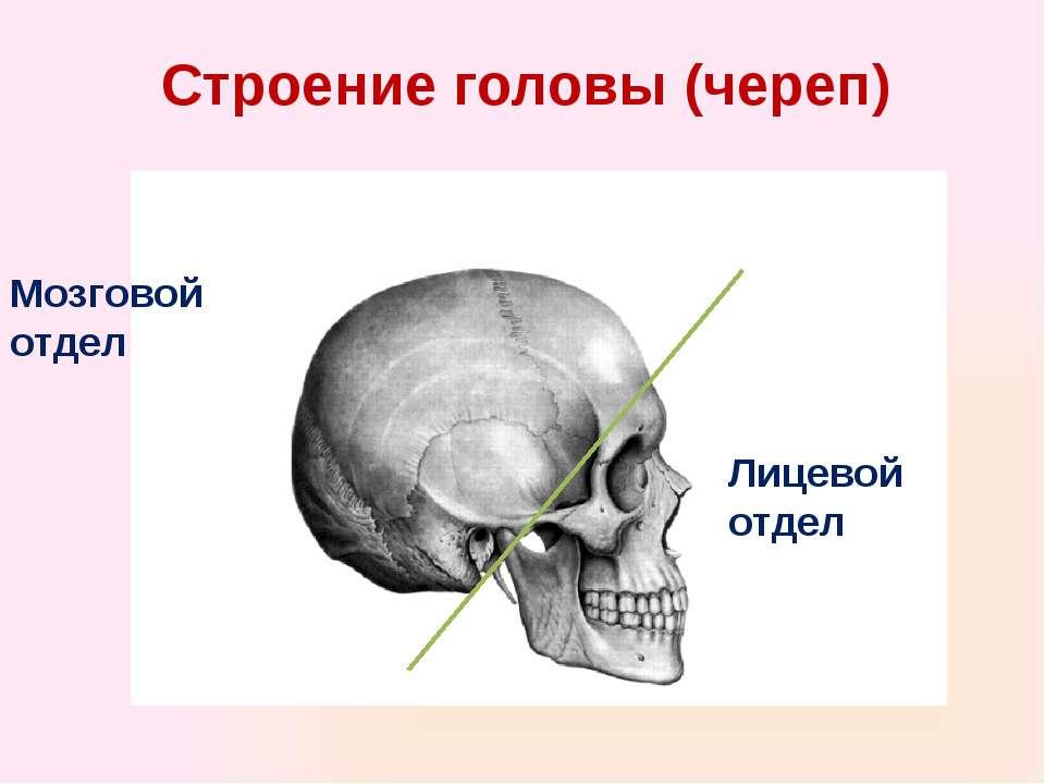 Строение головы (череп) Лицевой отдел Мозговой отдел