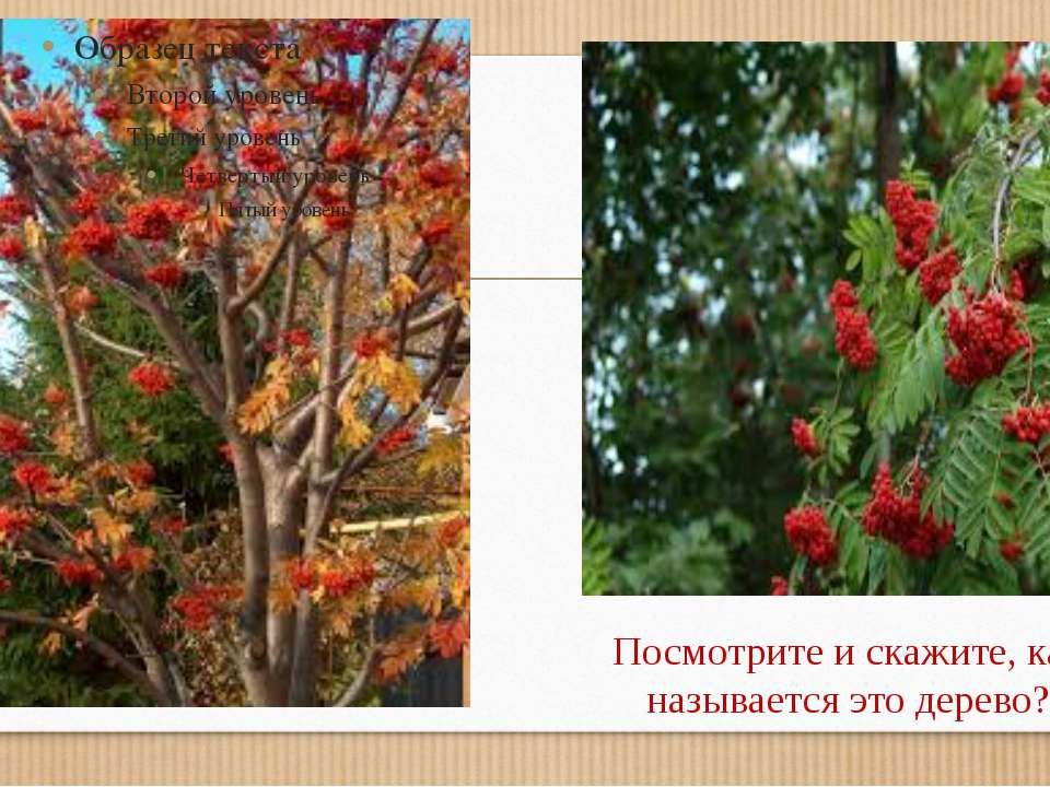 Посмотрите и скажите, как называется это дерево?