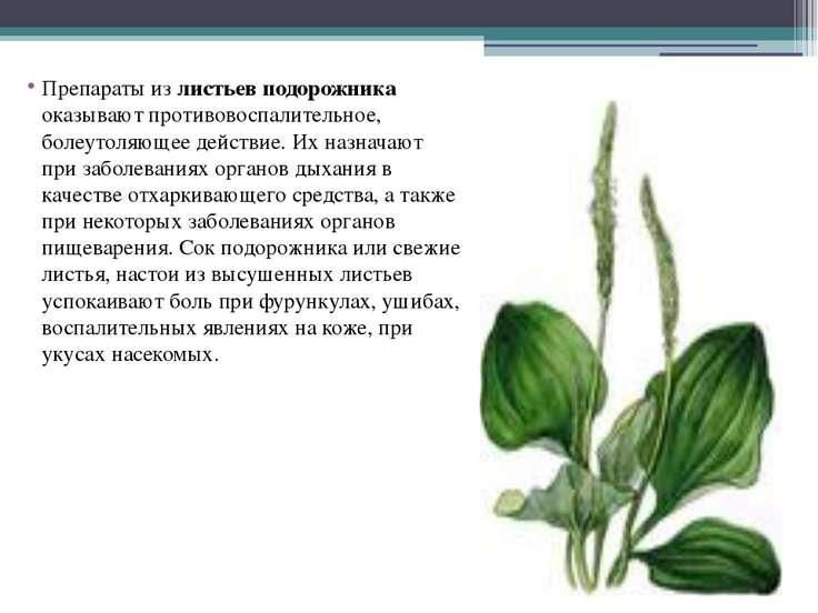 Препараты из листьев подорожника оказывают противовоспалительное, болеутоляющ...