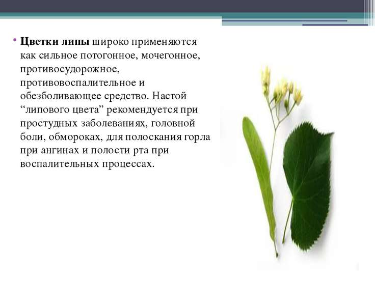 Цветки липы широко применяются как сильное потогонное, мочегонное, противосуд...