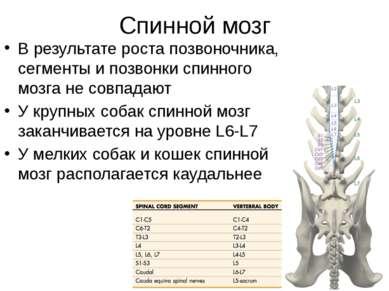 Спинной мозг В результате роста позвоночника, сегменты и позвонки спинного мо...