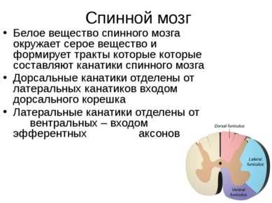Спинной мозг Белое вещество спинного мозга окружает серое вещество и формируе...