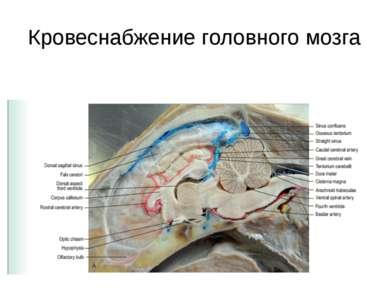 Кровеснабжение головного мозга