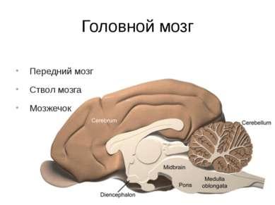 Головной мозг Передний мозг Ствол мозга Мозжечок