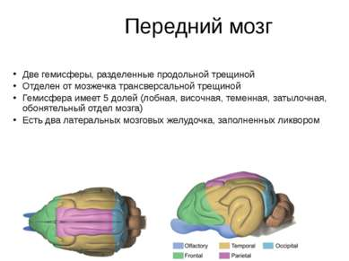 Передний мозг Две гемисферы, разделенные продольной трещиной Отделен от мозже...