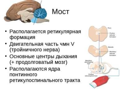 Мост Располагается ретикулярная формация Двигательная часть чмн V (тройничног...
