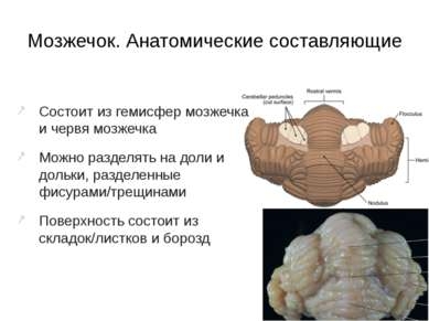 Мозжечок. Анатомические составляющие Состоит из гемисфер мозжечка и червя моз...